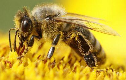 Pčele polako izumiru, ko će ih zamijeniti? Roboti već čekaju…