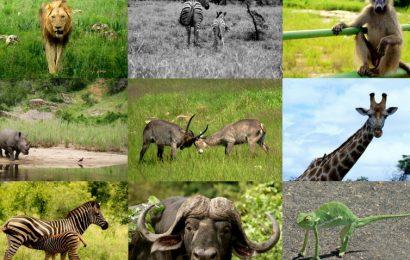 U zadnje 44 godine nestalo 60 posto divljih životinja